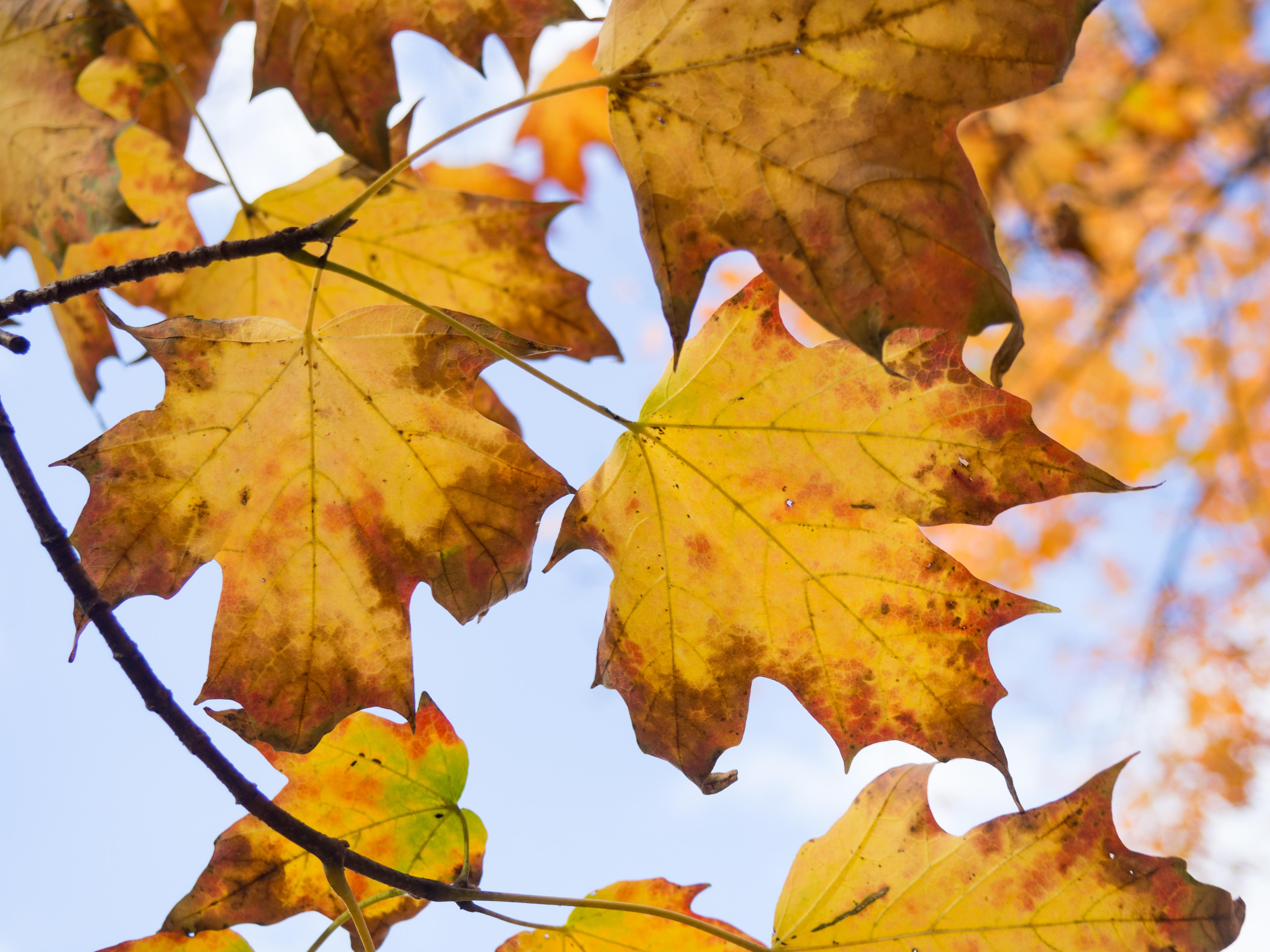 Fall Leaves On Tree Mmt